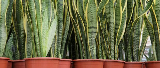 diese 8 zimmerpflanzen verbessern das raumklima. Black Bedroom Furniture Sets. Home Design Ideas