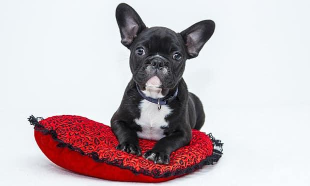 bulldog-klein