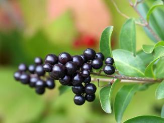 Prunus laurocerasus Herbergii, Kirschlorbeer Herbergii