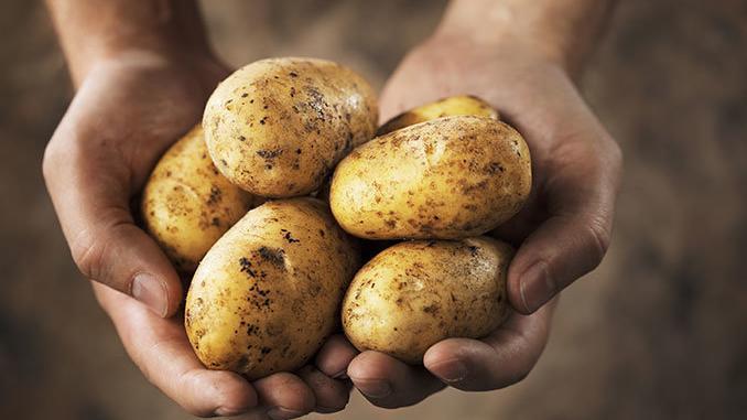 Wunderknolle Kartoffel